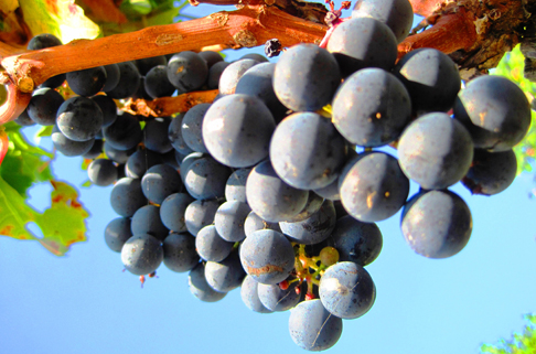 2011-Bordeaux-Harvest